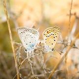 blåa fjärilar royaltyfri foto