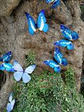 blåa fjärilar i natur arkivfoto