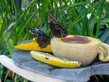 Blåa fjärilar på lunch arkivbilder