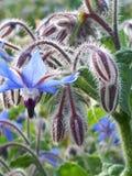 blåa floror Arkivfoto