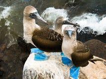 3 blåa footed boobys vaggar på Galapogas för den shorelinesan christobal ön öar royaltyfria bilder