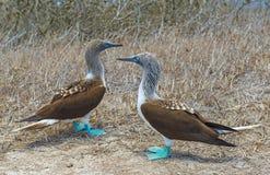 Blåa Footed dumskallar kopplar ihop, Galapagos, Ecuador arkivfoton