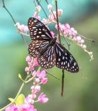 Blåa glas- Tiger Butterfly i en trädgård arkivbilder