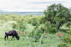 Blåa gnu- och impalaantilop arkivbilder