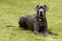 Blåa Great dane II royaltyfria bilder