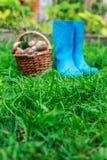 Blåa gummistöveler och en korg mycket av champinjoner på en gräsbakgrund royaltyfri fotografi
