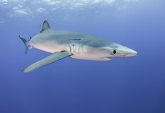 Blåa hajar arkivbild