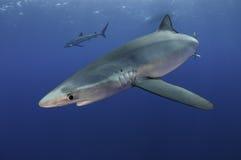 Blåa hajar royaltyfri bild