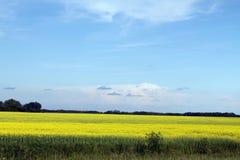 Blåa himlar över fält av Manitoba Canola Royaltyfri Fotografi