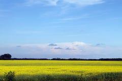 Blåa himlar, Canola som växer i Manitoba Arkivfoton