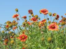 Blåa himlar och blommor Royaltyfria Foton