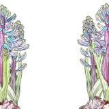 Blåa hyacinter för bakgrund Arkivbild