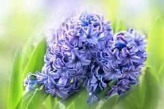 Blåa hyacinter för vårblommor i trädgården på en solig dag Fotografering för Bildbyråer