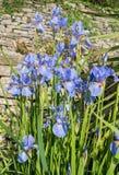 Blåa Iris Flowers, Iris Spuria som växer i en trädgård Arkivbilder