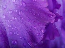 Blåa irises Royaltyfria Bilder