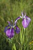blåa irises Royaltyfria Foton