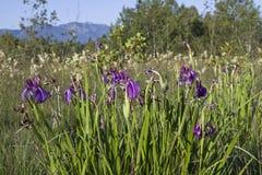 blåa irises Fotografering för Bildbyråer