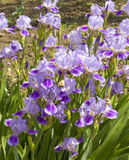 blåa irises Arkivbild