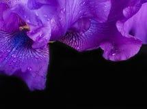 Blåa irises mot black Royaltyfria Foton