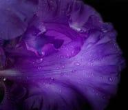 Blåa irises mot black Royaltyfria Bilder