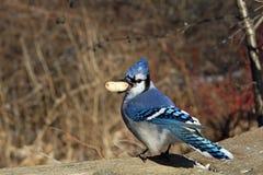 blåa jay Royaltyfri Fotografi