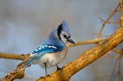 blåa jay Arkivfoton