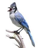 blåa jay Fotografering för Bildbyråer