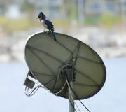 Blåa Jay On Antenna Royaltyfri Foto