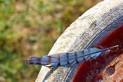 Blåa Jay Feather Left på stenfågelbad arkivbilder