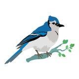 Blåa Jay Flat Design Vector Illustration Arkivfoto