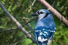 blåa jay perched treen Arkivbilder