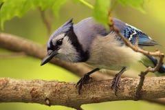 blåa Kanada jay ontario Royaltyfria Bilder