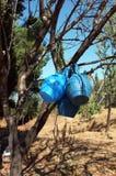 Blåa kannor som hängs på trädfilial Royaltyfri Foto