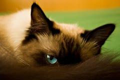 blåa kattögon Royaltyfri Bild
