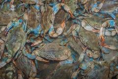 blåa krabbor Royaltyfri Bild