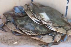 Blåa krabbor i korg Fotografering för Bildbyråer