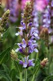 blåa kullsalviasylvestris x Arkivfoto
