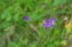 Blåa lösa blommor i skogen Fotografering för Bildbyråer
