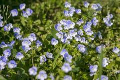 blåa linblommor Royaltyfria Foton
