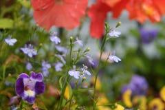 Blåa lobeliablommor rymmer gungning i sommarträdgård royaltyfri fotografi