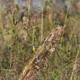 Blåa mesar för Eurasian, cyanistescaeruleus, Neucahtel, Schweiz arkivbilder