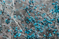 _ Blåa mogna bär av den lösa slånet på en filial i sen höst Slånbär, Prunusspinosa royaltyfri fotografi