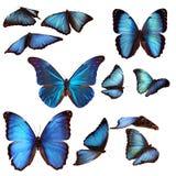 Blåa morphofjärilar Arkivfoto