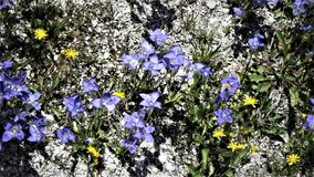 Blåa och gula blommor Royaltyfri Bild