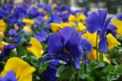 Blåa och gula Pansies Fotografering för Bildbyråer
