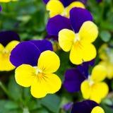 Blåa och gula penséblommor Fotografering för Bildbyråer