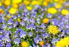 Blåa och gula vildblommor Royaltyfri Bild