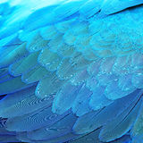 Blåa och guld- arafjädrar arkivfoto