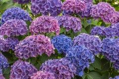 Blåa och purpurfärgade Hortensiablommor royaltyfri fotografi