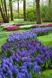 Blåa och purpurfärgade Hyacinth Flowers på vårträdgården Keukenhof, Nederländerna Arkivbilder